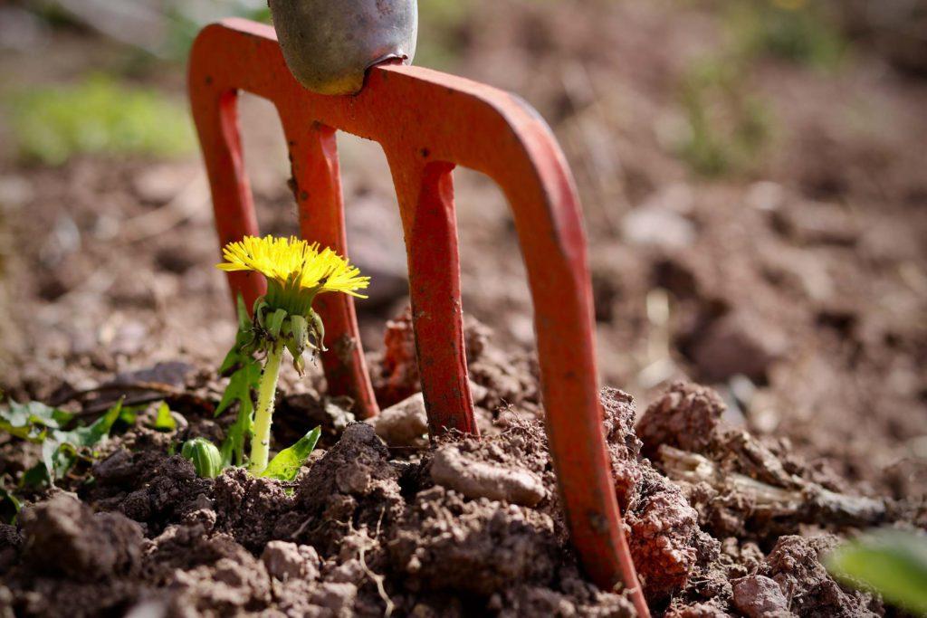 dandelion gardening land fork