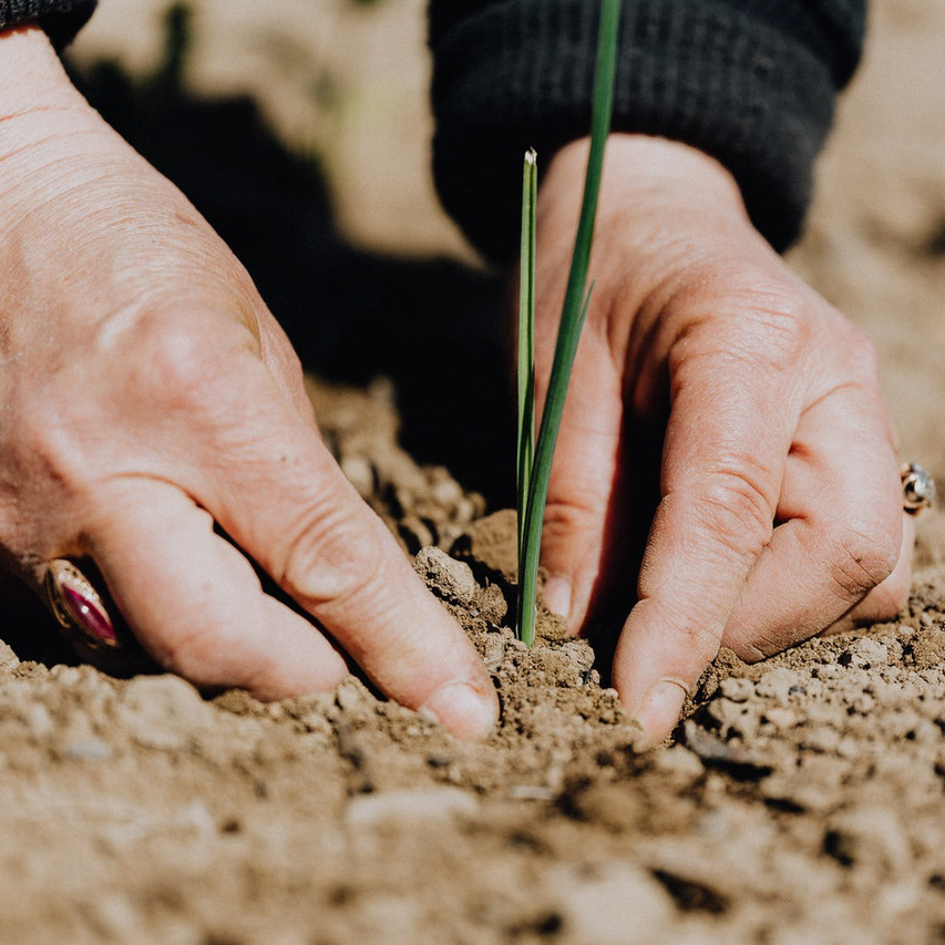 plant salad farming hands